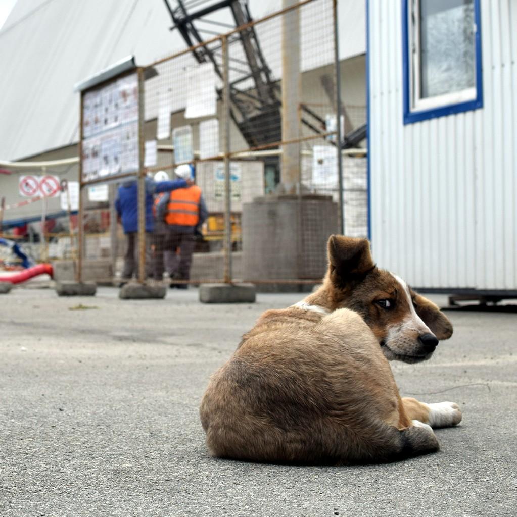 Imagen de perros de Chernobil